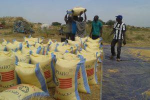 La raccolta del riso a Bagré - Burkina Faso